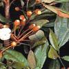 Organic Catuaba Bark