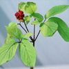 Organic Korean Ginseng